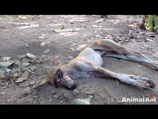 We thought she was dead…amazing recovery of street dog