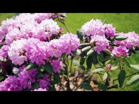 Ландшафтный дизайн | Рододендроны в Сибири | Garden Boom