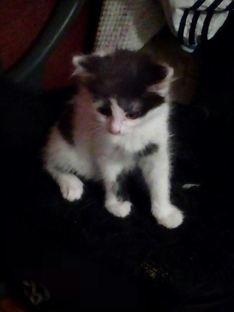 Отдам в добрые руки котеночка, Барсик 2 месяца сегодня исполнилось, очень игривый, к лотку приучен, кушает все, но иногда капризничает, окрас чёрно-белый, пушистый, отдадим с лоточком и наполнителем для котят, номер для связи 89115167185 или в лс