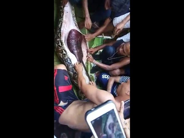 Sadis ! Wanita 54 Tahun Tewas Dimangsa Piton 7 Meter, Jasad Ditemukan Utuh