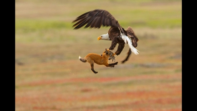 Fox Kit and Eagle