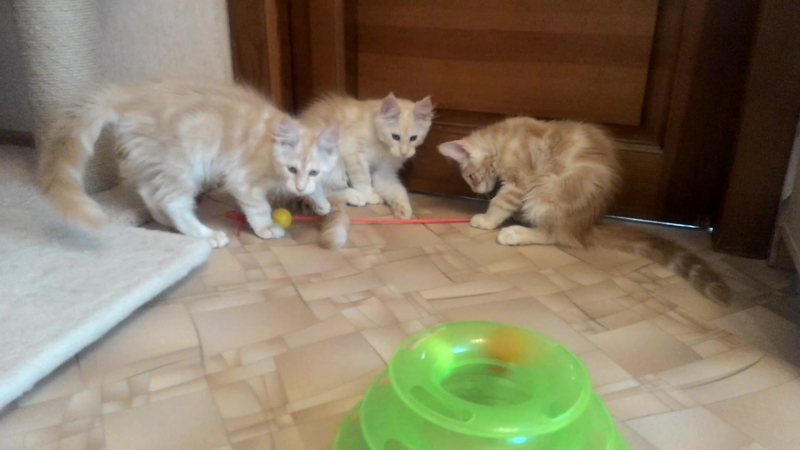 Котята породы мейн-кун, 3 месяца, продаются не дорого. Питомник Acadia Maine г. Самара.