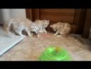 Котята породы мейн кун 3 месяца продаются не дорого Питомник Acadia Maine г Самара