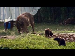 BBC «Полосатые братья: Банда мангустов» (1 серия) (Документальный, природа, животные, 2009)