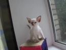 Котенок балинез балийская кошка poroda koshek scscscrp