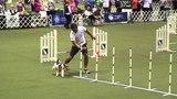 Meg, Wire Fox Terrier - 2015 AKC Eukanuba Agility Championships, Round 1