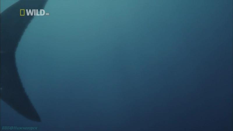«Доисторические хищники: Акула-чудовище» (Познавательный, природа, животные, 2008)