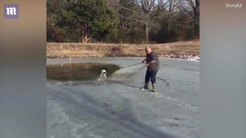 «Кто, если не я?» Полный мужчина смело ступил на тонкий лёд пруда, чтобы спасти умного белого пса!