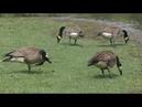 Canadian Geese and Ducks (Steinheil München Culminar 135mm f4.5 VL L39) 2018