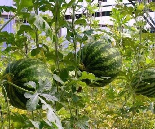 Трудно ли ухаживать за арбузами, выращиваемыми в теплице