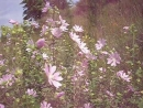 P1010018 Розовые цветы