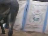 Ишак делает сам себе миньет