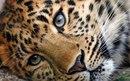 Всем известно, что в России, на Дальнем Востоке водятся амурские тигры, но мало кто знает…