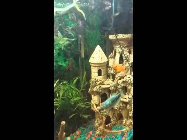 Аквариум , рыбки едят червей. Кормление рыбок свежеморожеными червями.