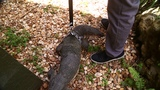 SLINKY encounters a CANE TOAD on his walk around the pond!