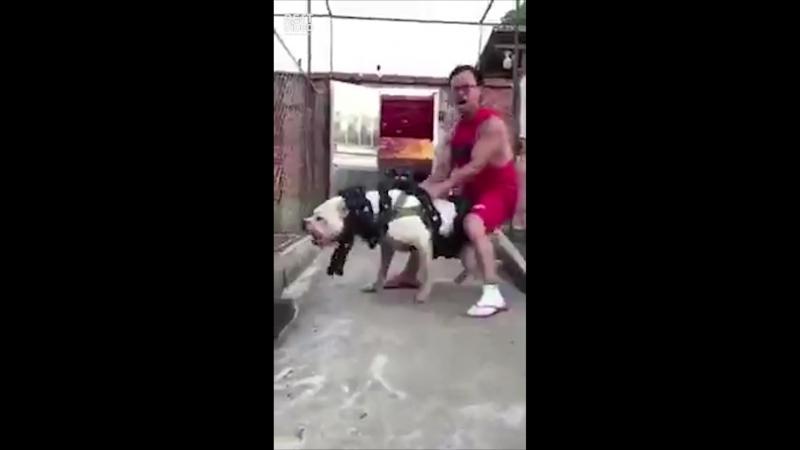 Собака сдерживает бешенного китайца