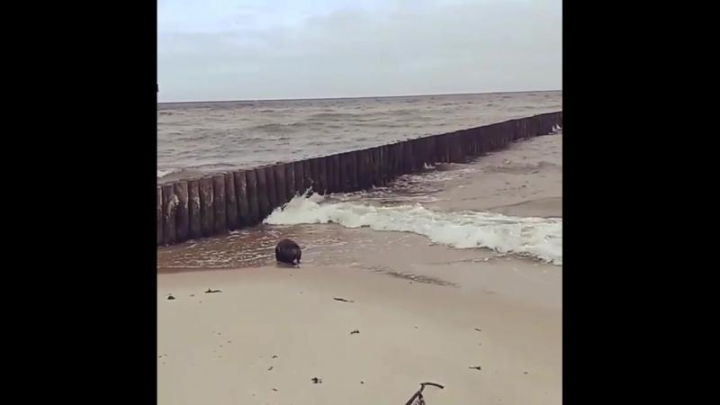 НАБЛЮДАЙ | Вот такого гостя на Зеленоградском пляже встретили мы с @ alinazherbina сегодня утром!) Жаль у меня телефон вырубился