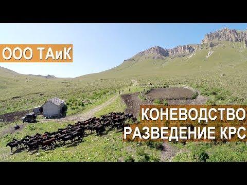 Коневодство, скотоводство и производство молочной продукции в ООО ТАиК. Кабардино-Балкария