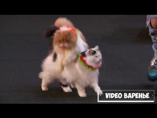 Дрессировщицы кошек на шоу талантов (VIDEO ВАРЕНЬЕ)