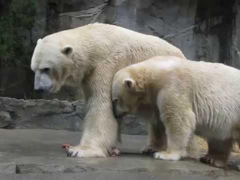 Polar bear romantic dance