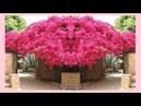 БУГЕНВИЛЛИЯ и музыка : Alex Fox - Besame Mucho