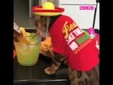 Кот мексиканец