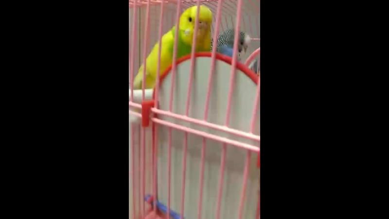 мои попугаи когда я и они дома