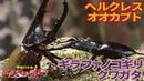 【公式】ギラファノコギリクワガタ vs ヘルクレスオオカブト(ヘラクレスオオカブト)【甲虫バトル ムシファイター!】14