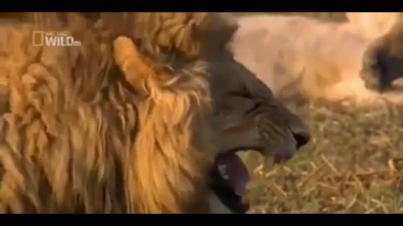 дикий лев дикий смех