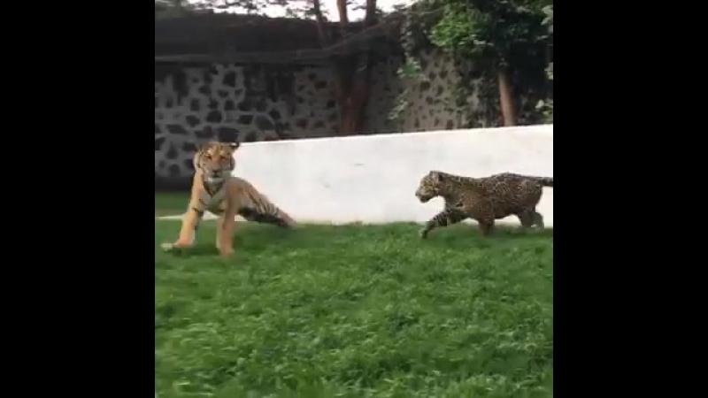 Большие кошки играются (panthera tigris panthera onca)
