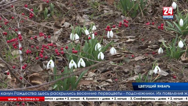 Цветущий январь В Крыму распустились подснежники жасмин и морозник Зацвел жасмин морозник и даже распустились подснежники Не