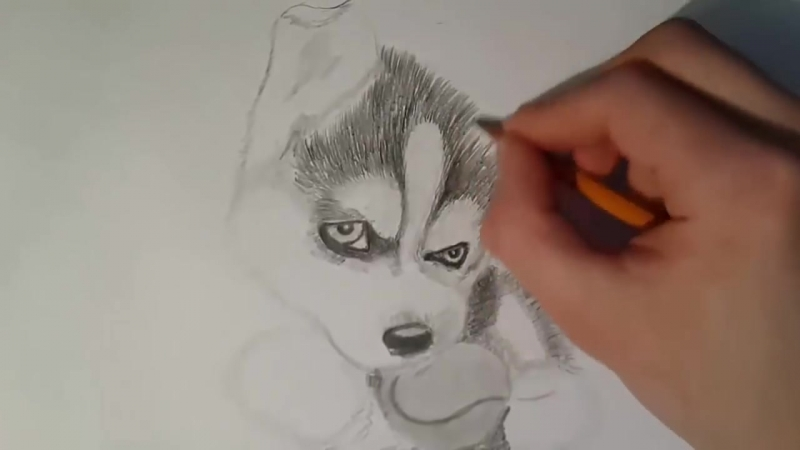 Как нарисовать собаку карандашом поэтапно - Щенок Хаски - Рисунки собак