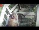 Нападение питбуля на собаку