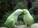 Попугайчики разговаривают