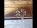 Тигр Устин ждёт, когда его покормят) Типичный Ростов