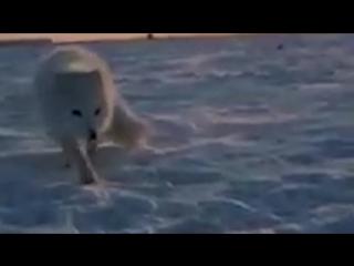 Видео, как наглый песец ворует мойву у рыбака