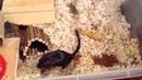 Моя песчанка-хомяк тащит арахис в домик