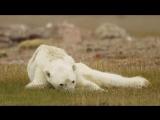 Умирающий от голода медведь заставил говорить о глобальном потеплении