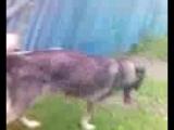 Собака трахает бомжа!