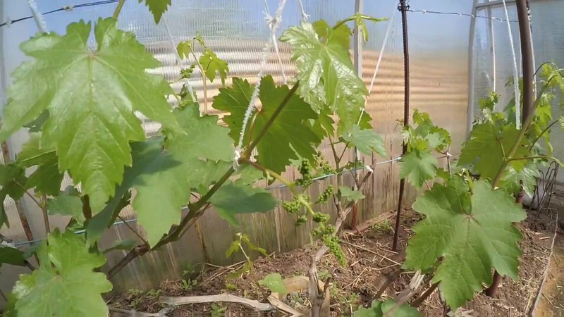 На майском винограднике Вадима Точилина