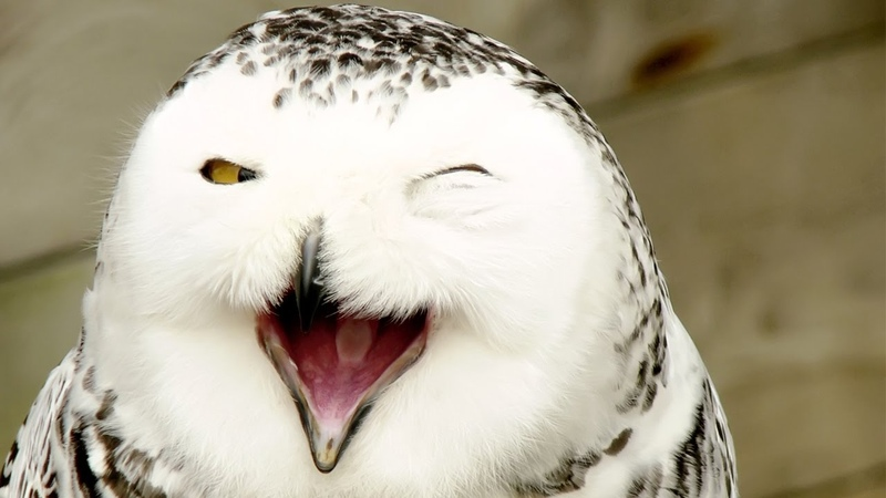 Animal Planet Magic of Snowy Owl Best Documentary
