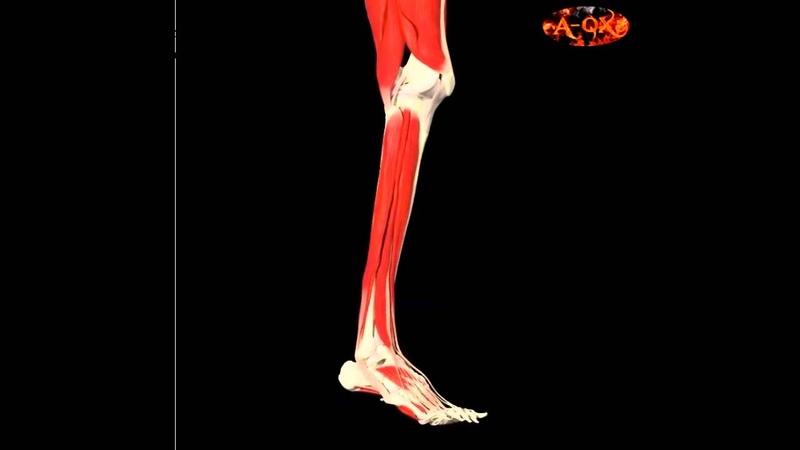 3D Анатомия мышц человека - голень. 3D Anatomy muscles human - calves.