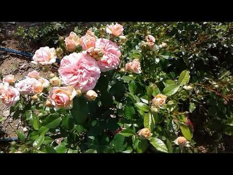 Питомник роз Полины Козловой, роза Бесси и роза Чипендейл