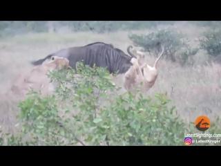 Бой антилопы Гну с двуми львицами