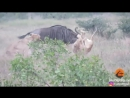 Wildebeest Hooks Lion by Leg as it Tries to Escape