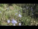 Камышин Цветет цикорий