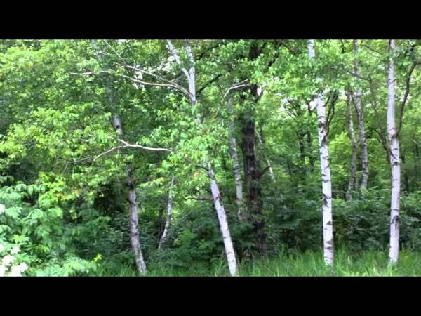звуки природы для релаксации, звуки природы живой лес, пение птиц