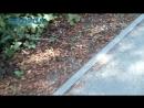 С каштанов опадают листья