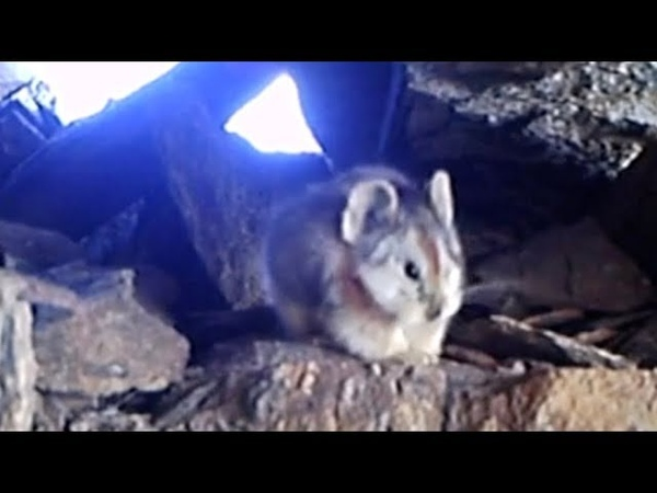 Infrared camera captures first high-definition footage of Ili Pika in northwest China