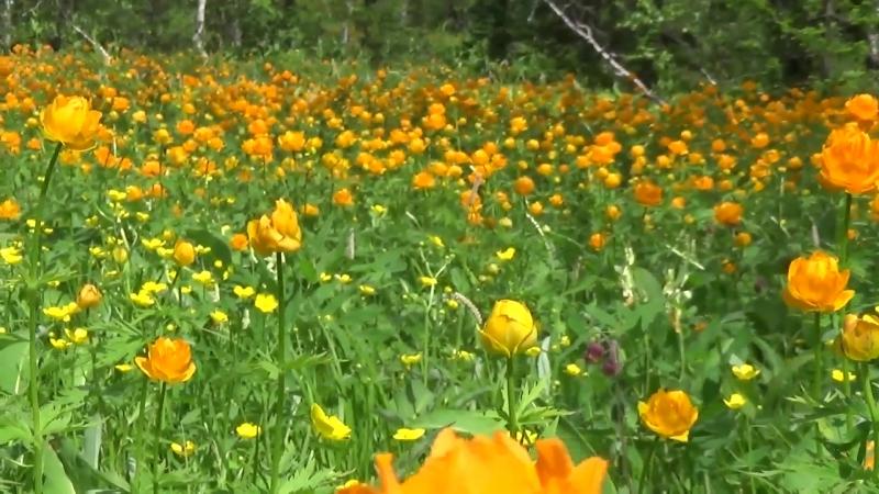 Цветы Шории